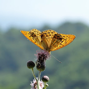 Butterfly by Radisa Miljkovic - Animals Insects & Spiders
