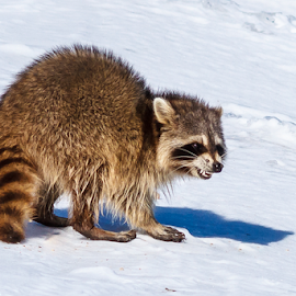 Raccoon by Buddy Woods - Animals Other Mammals ( coon, snow, hunting, raccoons, raccoon,  )