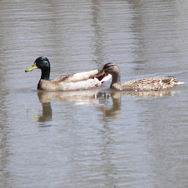 Mallards Ducks From Loanwaka Brook NJ by Jen Henderson - Animals Birds (  )