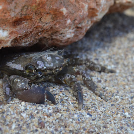 Crab on the beach by Laura Vasile - Animals Sea Creatures ( sand, summer, stone, beach, crab )