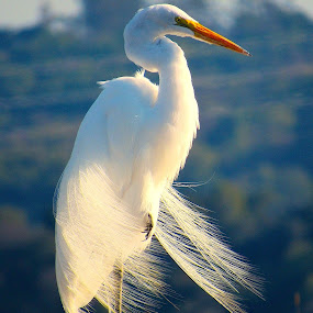 Egret at Sunrise by Robin Rawlings Wechsler - Animals Birds (  )