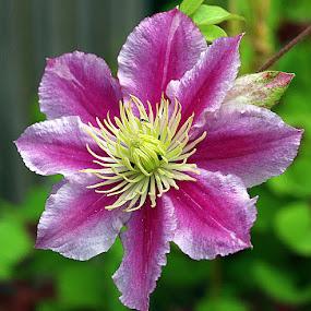 Clematis by Chrissie Barrow - Flowers Single Flower ( stigma, single, stamens, clematis, petals, green, white, pink, yellow, bokeh, garden, flower,  )