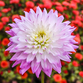 Foreground Dahlia by Jim Downey - Flowers Single Flower ( red, green, white, yellow, purple )