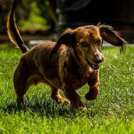 Sasha running  by Teresa Husman - Animals - Dogs Running