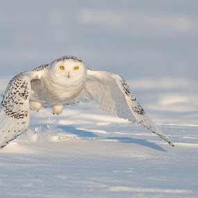 Snowy Owl by Rolland Gelly - Animals Birds ( rolland quebec canada )