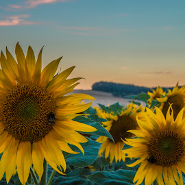 butineurs by Familia Neves - Landscapes Prairies, Meadows & Fields ( field, neves, sunflowers, sunflower, landscapes, landscape, fields )