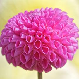 Dahlia 9857 by Raphael RaCcoon - Flowers Single Flower
