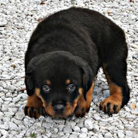 Puppy Love by Corinna Burton - Animals - Dogs Puppies ( love, puppy )