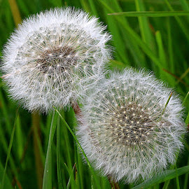 Double Time by Chrissie Barrow - Nature Up Close Other plants ( seedheads, nature, grass, green, white, seeds, dandelions, closeup )