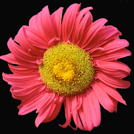 PINKY by SANGEETA MENA  - Flowers Single Flower