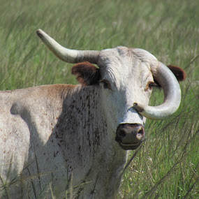 blow your own horn? by Larry Nelson - Animals Other Mammals ( odd horn, cow, bad hair day. )
