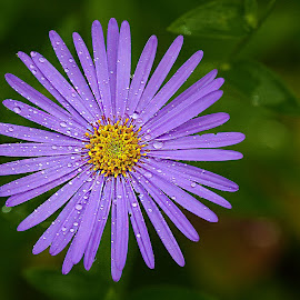 Aster après la pluie by Gérard CHATENET - Flowers Single Flower