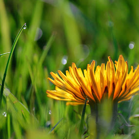 Common Dandelion glowing in the morning by Pamela Chandra - Flowers Flowers in the Wild
