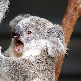 Sleepy Koala by Joanne Draper - Animals Other Mammals ( #koala #australia #sanctuary #wildlife #animal #marsupial )
