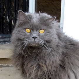 Sebastian by Christine B. - Animals - Cats Portraits ( cat, fluffy, long hairled, gray, animal )