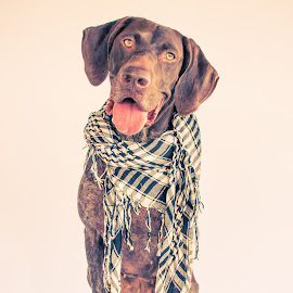 fashionable  by Meaghan Browning - Animals - Dogs Portraits ( studio, german shorthaired pointer, pointer, scarf, gsp )