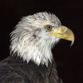 American Icon 2 by Camruin Kilsek - Animals Birds