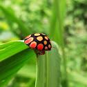 Ladybird bug