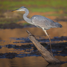 Heron by Francois Retief - Animals Birds
