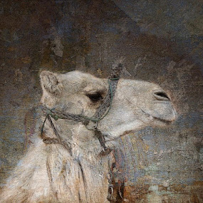 Turkish Blend by Bjørn Borge-Lunde - Digital Art Abstract ( camel, animal )