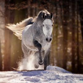 by Maja Lesar - Animals Horses ( stallion, winter, nature, horse, snow, forest, photography, lipizzaner, animal )
