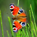 European peacock; Mariposa pavo real