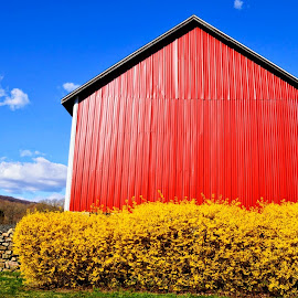 Red Barn with Forsythia by Tarea J Roach-Pritchett - Buildings & Architecture Other Exteriors ( fence, red, blue sky, red barn, barn, blue, forsythia, yellow,  )