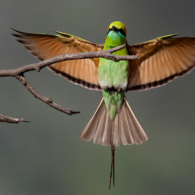 Stretching limits by Masood Hussain - Animals Birds ( freedom, flying colors, glide, wildlife, birds, birding, ornithology, free, sky, nature, wings, action, ecology, biology, bird photography, limit, green bee eater, majestic, colors, glory, bird pictures, bird photos, forest, bird shots, bird, magnificent, flight, blue, jungle, fly, take off, high, natural )