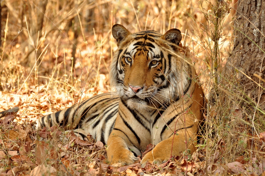 Young Male  by Dhanya Dreaming - Animals Lions, Tigers & Big Cats
