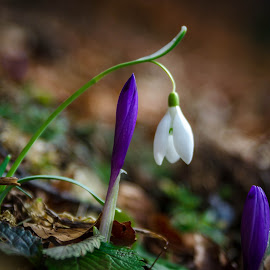 Fragile crocus under snowdrop shelter by Nagual Mancer - Nature Up Close Other plants ( nature, fragile, crocus, snowdrop, flowers, spring, flower )