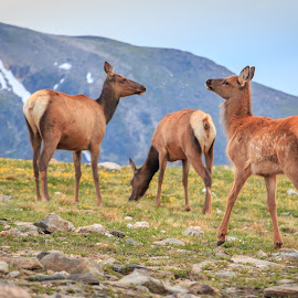 Baby Elk Frolicking Together by Kathy Suttles - Animals Other Mammals