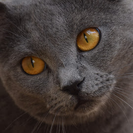 Joconde de Ventadour by Isabelle Ebens - Animals - Cats Portraits ( cat, blue, chartreux, amber )