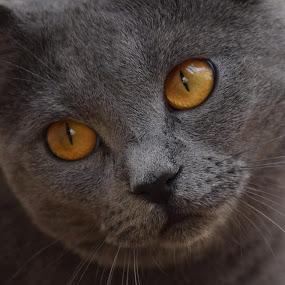 Joconde de Ventadour by Isabelle Ebens - Animals - Cats Portraits ( cat, blue, chartreux, amber,  )