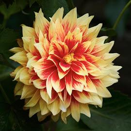 Dahlia 8711~ by Raphael RaCcoon - Flowers Single Flower