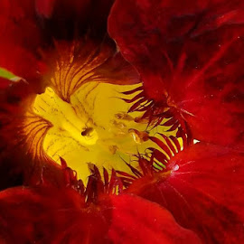 Red Nastursium.  Photo by Janet Young Abeyta~ by Janet Young- Abeyta - Abstract Macro