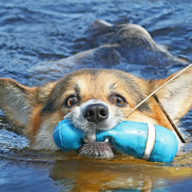 Eager retriever by Mia Ikonen - Animals - Dogs Playing ( action, pembroke welsh corgi, finland, fun, swimming )
