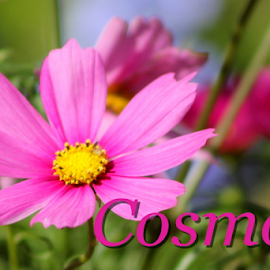 COSMOS by Patti Westberry - Typography Captioned Photos ( illustration, cosmos, word, pink, flower )