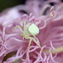 Flower Crab Spider ♀