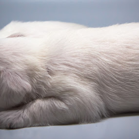 Twins by Joseph Belcher - Animals - Dogs Puppies ( schnauzer, white, puppy, cute, dog, young, miniature )