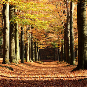autumn in the forest by Hilda van der Lee - Landscapes Forests ( autumn, trees, forest, leaves, beech, golden,  )