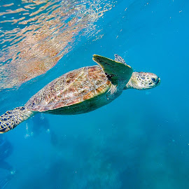 Turtle at Green Island, North Queensland by Leon Degenaars - Animals Reptiles ( cairns, north queensland, great barrier reef, green island, turtle )