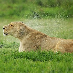 Very wet! by Charmane Baleiza - Animals Other Mammals