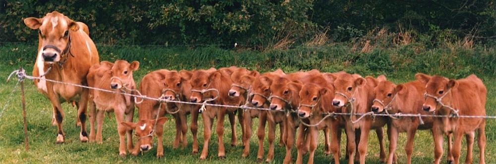 Research World Jersey Cattle Bureau