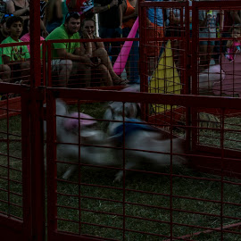 a night at the races by Tim Hauser - City,  Street & Park  Amusement Parks ( tim hauser photography, fine art, fine art photography, county fair, pig races )