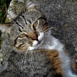 Buddy Boy by Liz Pascal - Animals - Cats Playing