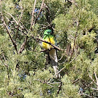 Superb Parrot - female