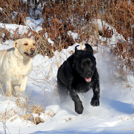 by Deanna Clark - Animals - Dogs Running (  )