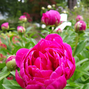 Pink Peony by Sandy Hogan - Flowers Flower Gardens ( pink flower, blossoming, peony, flower photography, peonies,  )