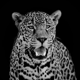 Jaguar by Margie Troyer - Black & White Animals
