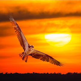 Osprey Backlighting at Sunset by Carl Albro - Digital Art Animals ( bird, sunset, digital art, sun,  )